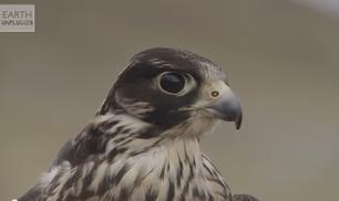 I segreti della sfida tra il biker e il falco pellegrino