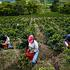 Colombia, Industria del Caffè