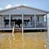 cow-in-plaquemines-parish-trapped-by-hurricane-issac