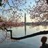 the-cherry-blossom-trees-bloom-in-washington