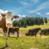 Per diminuire le emissioni di metano dei bovini, basta metterli a dieta