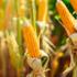 Combi Mais, premio al cereale sostenibile coltivato con meno acqua