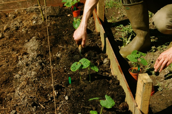 The veggie patch is finally all planted, album di this lyre lark/flickr