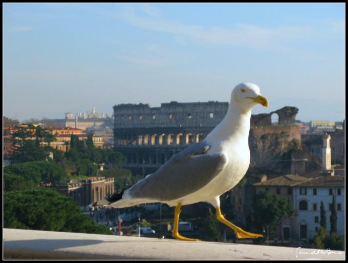 Gabbiano reale a Roma, album di Sound80Roma/flickr