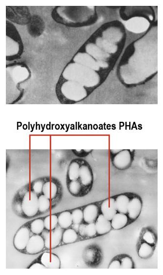 MINERV PHAs (Polidrossialcanoati messi a punto utilizzando Barbabietole), bio-on.it
