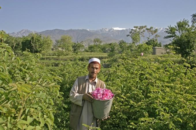 Nangarhar: Rosenprojekt, erste Ernte. Projektleiter Norbert Burger und Rosenbauer. In Afghanistan lebt noch immer ein Großteil der ländlichen Bevölkerung vom Schlafmohn. Die Welthungerhilfe bietet mit dem Anbau von Ölrosen und nachfolgenden Gewinnung von Rosenöl und Rosenwasser eine echte Alternative.