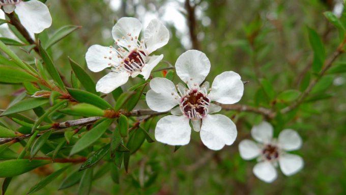 Fiori di tea tree oil, un rimedio naturale contro l'herpes