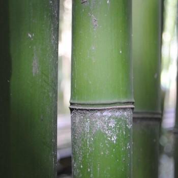 Bambuseto di camaiore