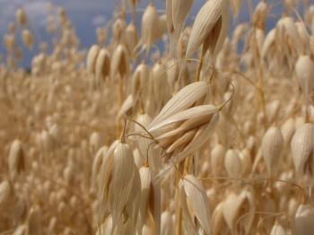 proteine pasta miglio glutine colesterolo cereali biologici cereali avena amaranto