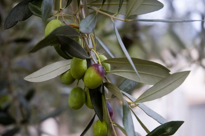 Olive. Foto di sky#walker/flickr