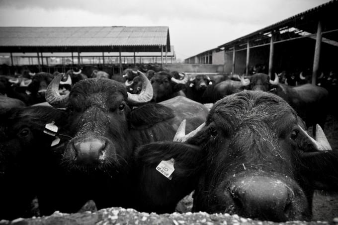 Bufala. Foto di Kelly Hau photography/flickr