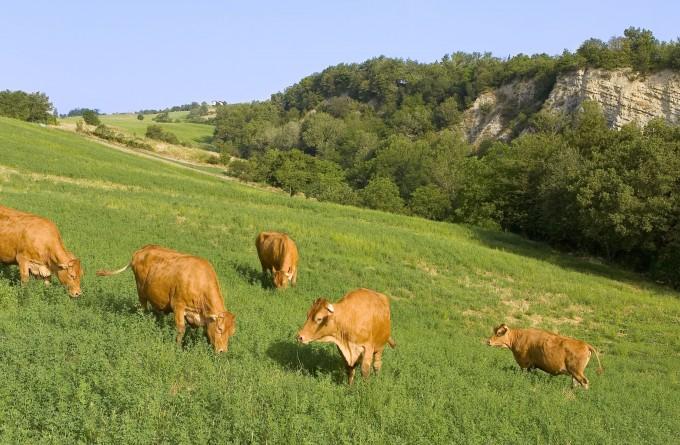 vacche di antica razza reggiana