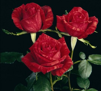 Le Rose di Nicola Cavina