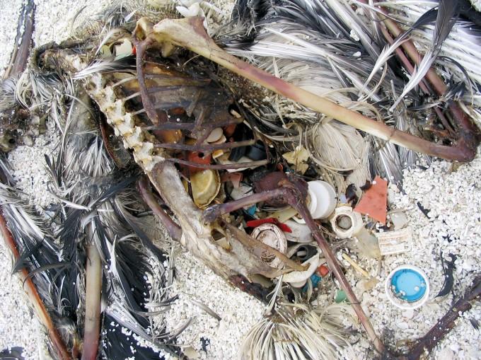 Il contenuto dello stomaco di un albatro di Laysan. Atollo di Kure, 2002. (CynthiaVanderlip, AMRF)