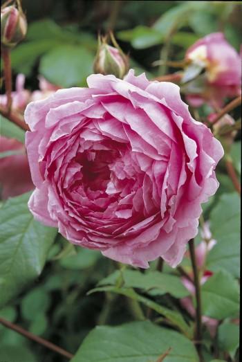 Festa della Rosa