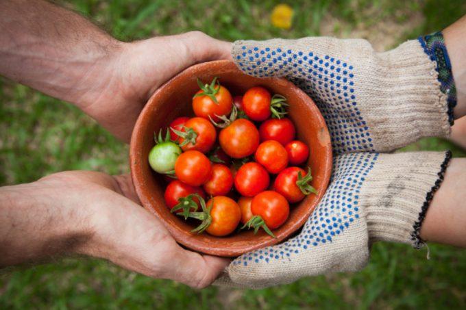 Raccolto di pomodori