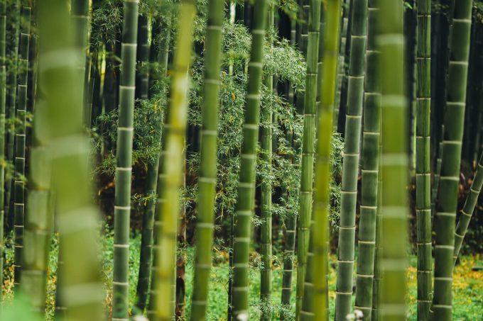 bambù forest