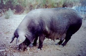 Befana, capostipite allevamento Felcetone di Macchiaiola Maremmana