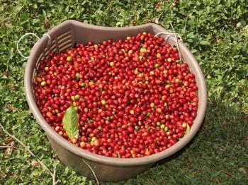 Doka Plantation coffee - Foto Flickr by  Sandra Cohen-Rose and Colin Rose
