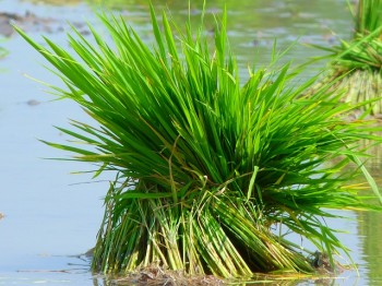 The Future of Science provitamina a Paesi in via di sviluppo OGM golden rice Future of Science fame agrobiotecnologie