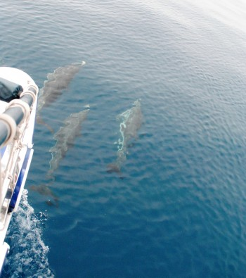 Delfini a Taranto