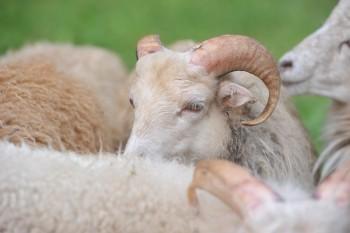 tosaerba ecologico razza Nana d'Ouessant pet therapy Pecorelle pecore fertilizzante naturale comune di Torino Cittadino di Lodi