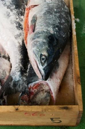 Il salmone OGM è stato messo a punto negli USA, Image by iStock