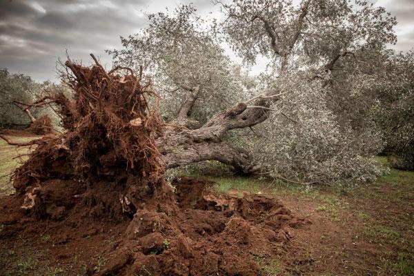 Albero di olivo sradicato per combattere la xylella