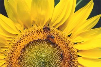 L'importanza di proteggere le api nel nostro ecosistema, Foto: roberto barbero  Unaapi Allais