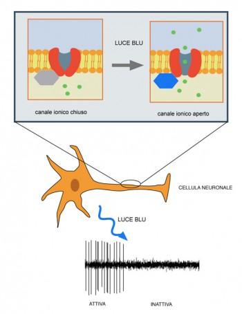 L'apertura e la chiusura del canale ionico nel cervello umano nella ricerca di Anna Moroni