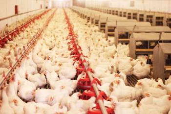 Batteri nella carne i pollo sarebbero causati dalla resistenza agli antibiotici, Image by iStock