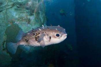 Specie aliene come pesci palla e alghe rare minacciano i nostri mari, Image by iStock