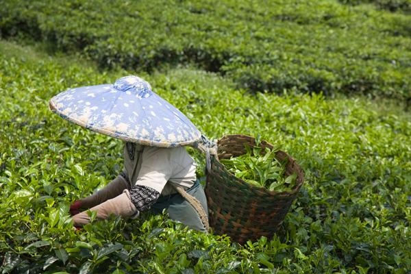 Coltivazione del tè