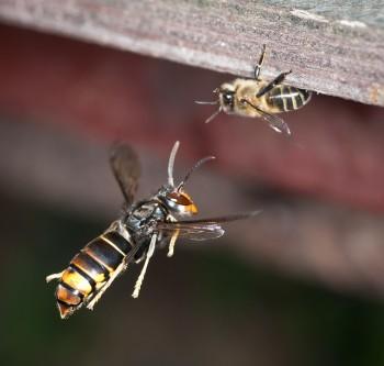 vespa velutina, calabrone, api, alveari