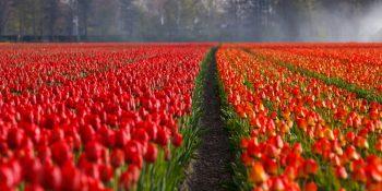 cornaredo, upick, tulipani, fiori
