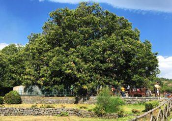 castagnodeicentocavalli, albero, unesco