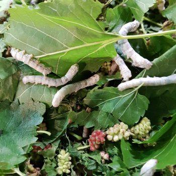 xdutch proteine pulite novel food marco ceriani integratori per lo sport insetti edibili insetti entomofagia cosmetici bombyx mori baco da seta