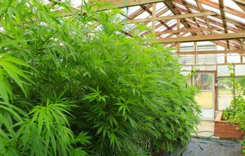 cannabis terapeutica, coldiretti, serre, newcanapaeconomy