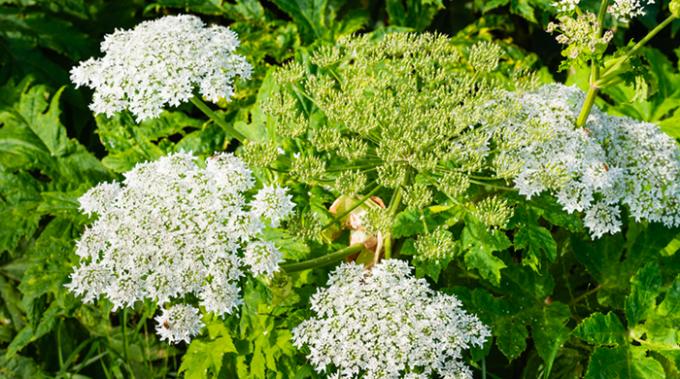 pianta, tossica, panacedimantegazza, tecnologia green