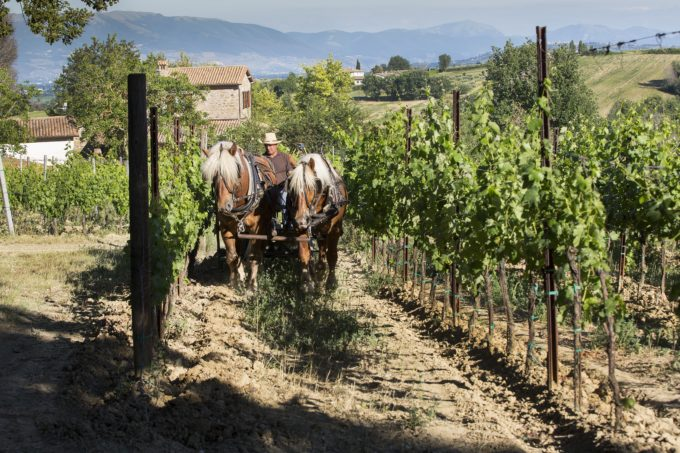 umbria, oche, vigne, DiFilippo, vino