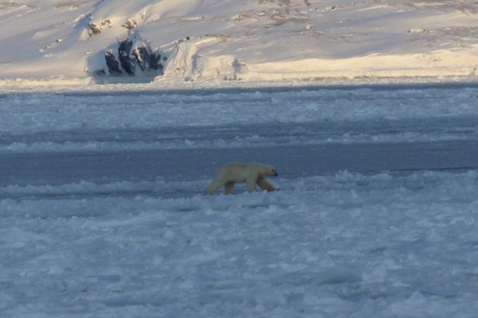 Orso bianco passeggia
