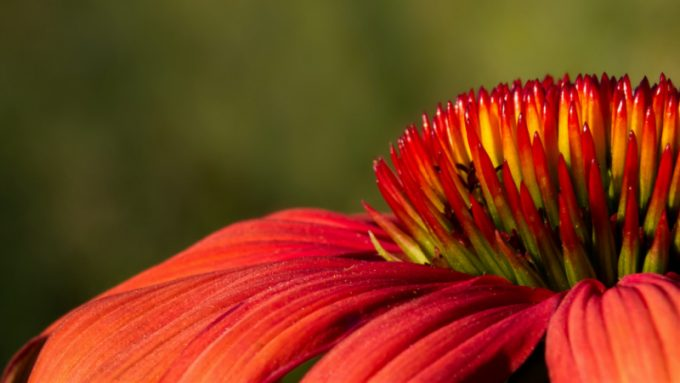 Echinacea: un close up sul fiore