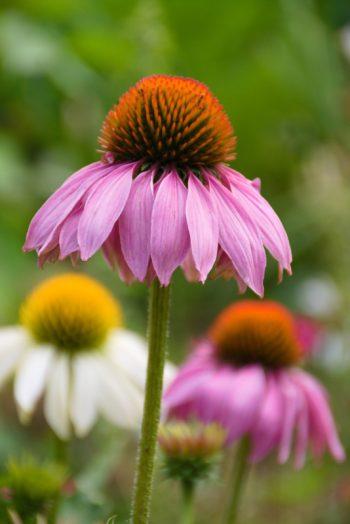 Fiore di echinacea in primo piano