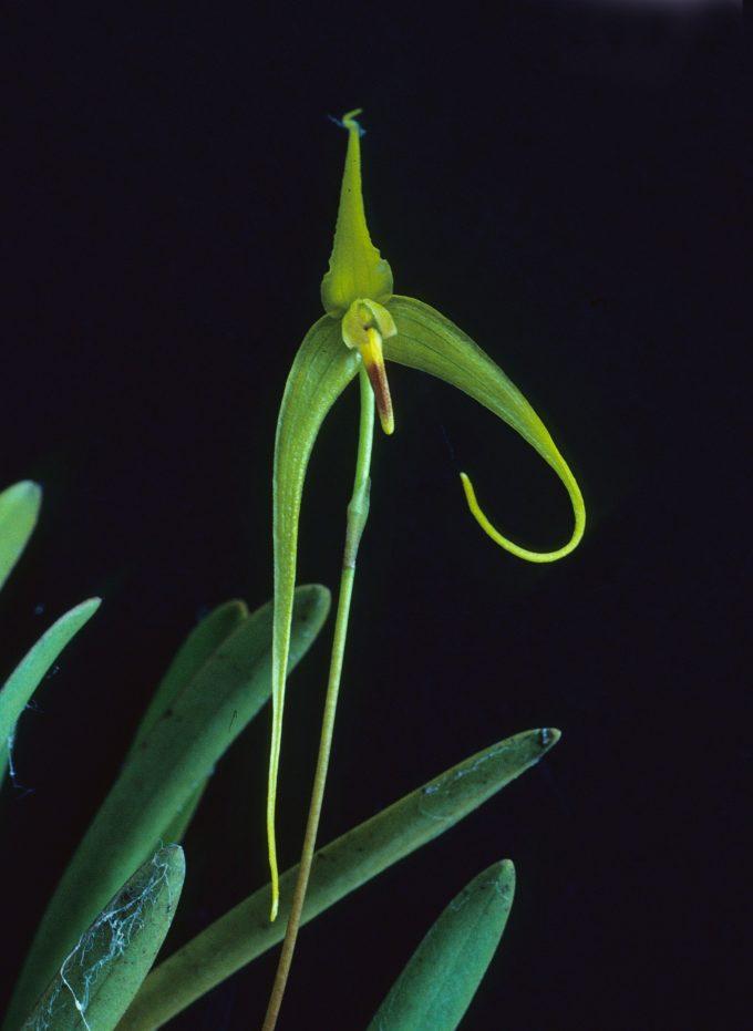 nuove specie di piante: Bulbophyllum dologlossum