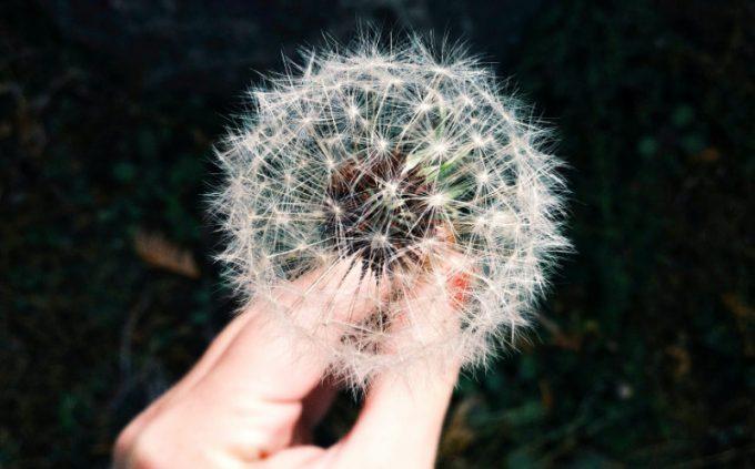 foto di un soffione: il legame tra allergie e riscaldamento globale