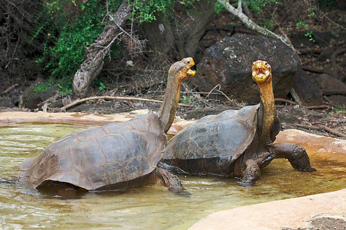 Tartaruga gigante di espanola