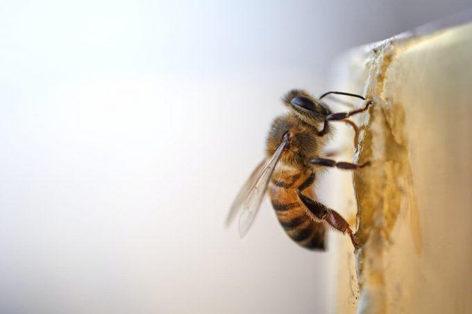 Ape: un insetto impollinatore
