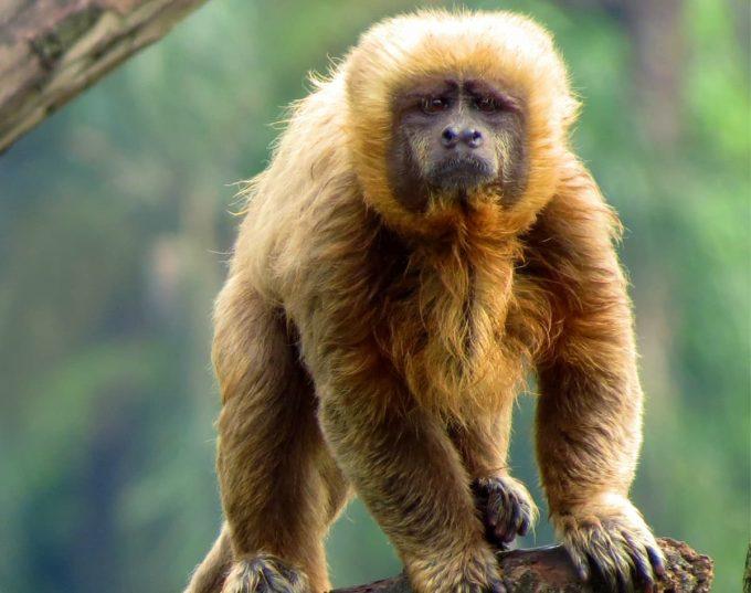 Animali a rischio estinzione: cebo dorato