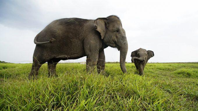 Elefante di sumatra