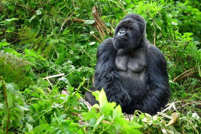 Animali in via di estinzione: gorilla di montagna